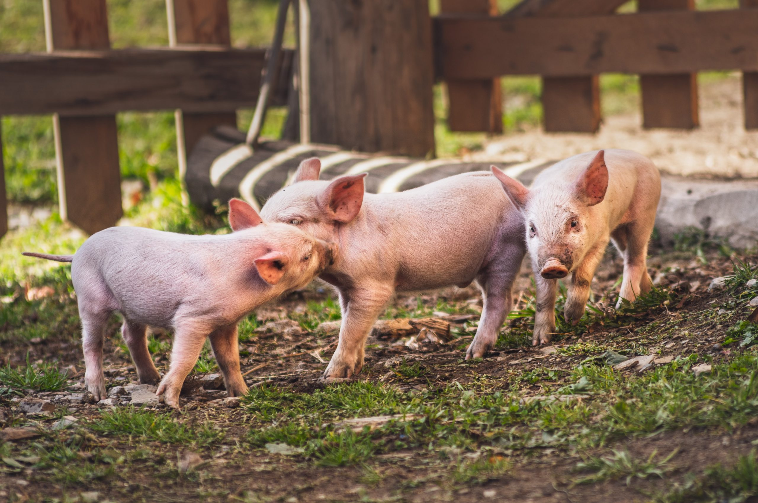 """What the story of the """"Three Little Pigs"""" can teach us about hosting"""